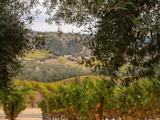 View from the Olive Trees at Clif Family Farm