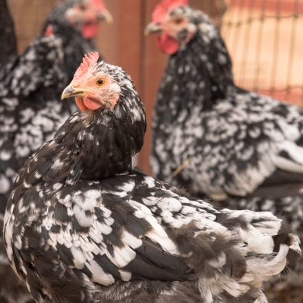 Mottled Java Hen Profile