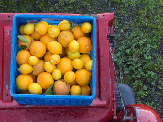 Citrus and Truck at Peacock Ranch
