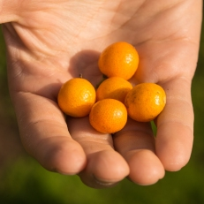 Kumquats at Peacock Ranch